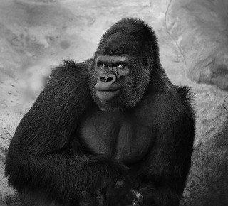 800_pound_gorilla.jpg